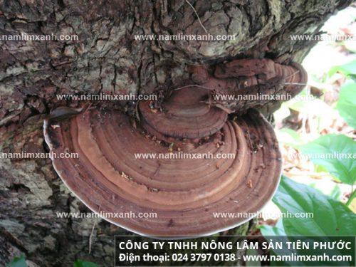 Các thành phần dược chất có trong nấm lim xanh rừng tự nhiên