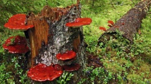 Các loại nấm lim xanh rừng tự nhiên được thu hái từ thợ sơn tràng.