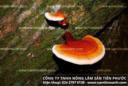Chữa ung thư phế quản là một trong những tác dụng của cây nấm lim rừng.
