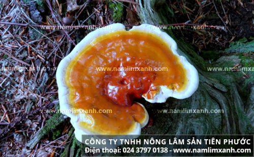 Công dụng chữa bệnh của nấm lim xanh rừng