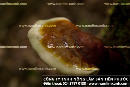 Công dụng chữa rối loạn lipid máu của nấm lim xanh