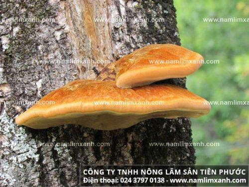 Hình ảnh về nấm lim xanh tự nhiên
