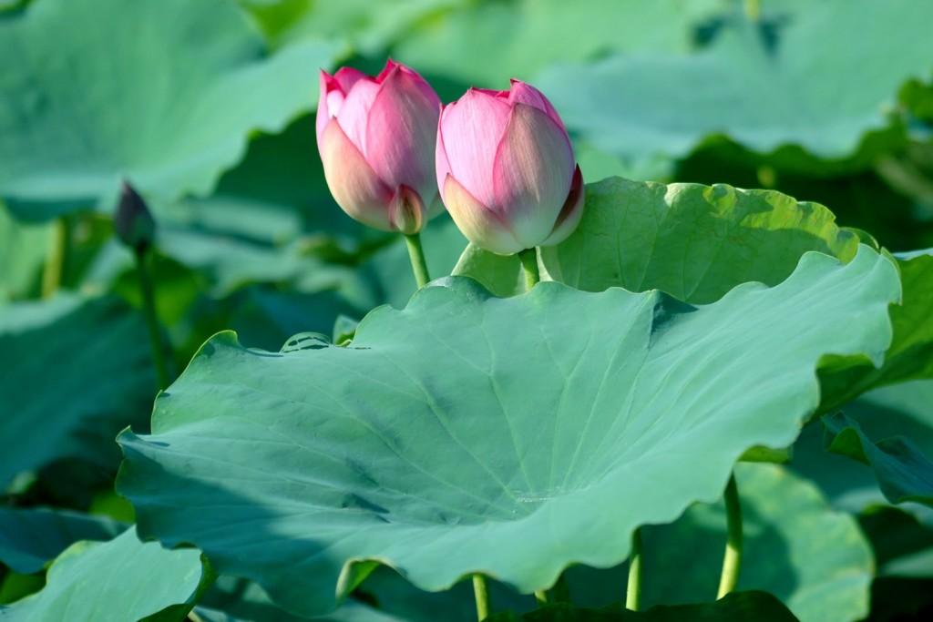 Lá sen được sử dụng nhiều trong bài thuốcnam đểđiều trị bệnh mỡ máu cao