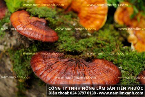 Nấm liêm xanh rừng tự nhiên