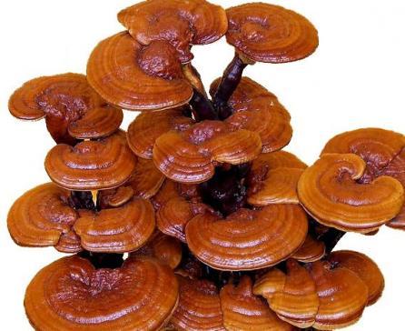 Nấm linh chi Hàn Quốc được nuôi trồng nên có hình thức đều tăm tắp