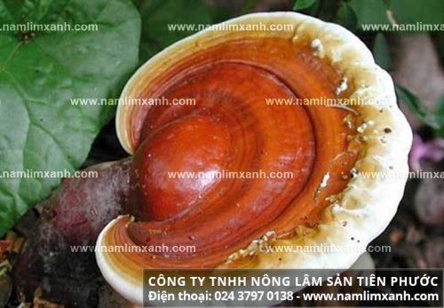 Nấm linh xanh Quảng Nam