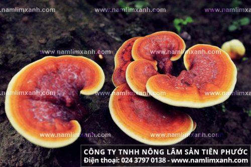 Tác dụng nấm linh xanh rừng Quảng Nam với bệnh ung thư vú