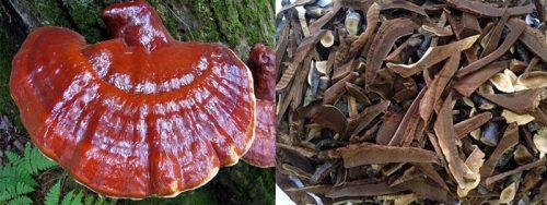 Phơi khô nấm, loại bỏ bụi bẩn... là cách sơ chế nấm lim xanh rừng tươi.