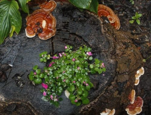 Hình ảnh nấm lim xanh tự nhiên mọc trên thân cây lim đã chết trong rừng.