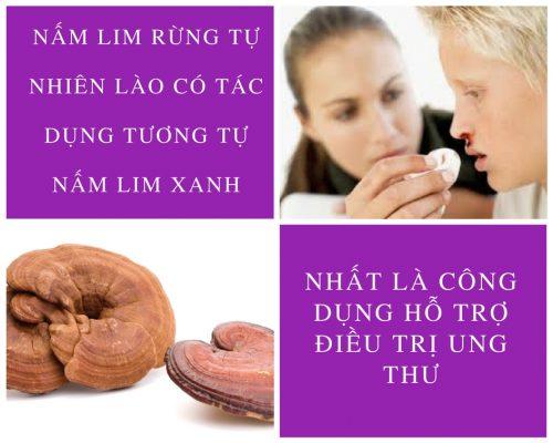 Nấm lim xanh rừng tự nhiên Lào có tác dụng tương tự nấm lim xanh Việt Nam
