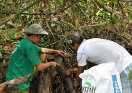 Nấm lim rừng tự nhiên Lào được thu hái từ sâu trong rừng nguyên sinh