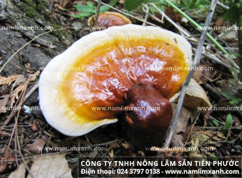 Nguồn gốc của nấm lim rừng tự nhiên Lào