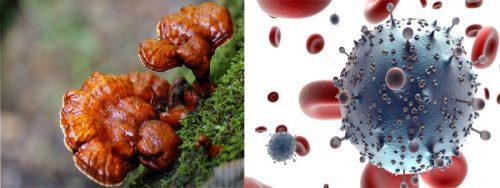 Dùng cây nấm lim chữa bệnh ung thư là phương pháp nhiều người sử dụng.