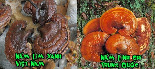 Cách phân biệt nấm lim xanh thật và giả của người dân Quảng Nam