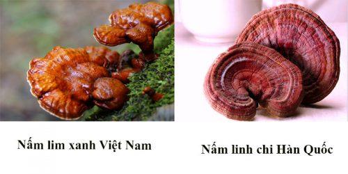 Nấm lim xanh rừng Hàn Quốc thực chất là nhầm lẫn của người dùng với nấm linh chi.
