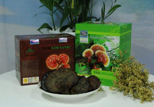 Nấm lim xanh rừng Quảng Nam là thảo dược thiên nhiên quý hiếm