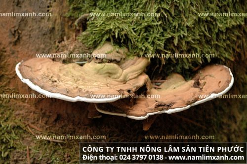 Tác dụng của nấm lim xanh rừng chữa ung thư hiệu quả nhờ một số dược chất quý hiếm