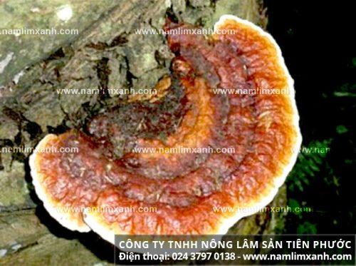 Tác dụng của nấm lim xanh trong điều trị bệnh