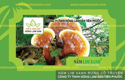 Tác dụng chữa bệnh gout của nấm lim rừng