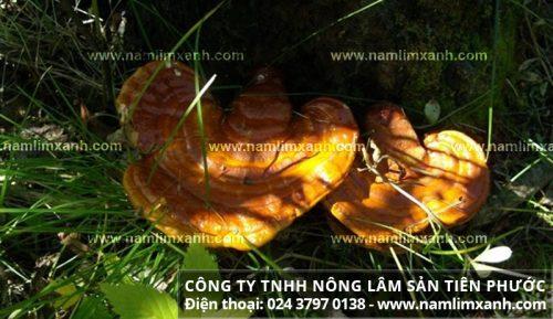 Tác dụng của nấm lim xanh rừng tự nhiên