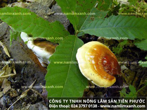Hình ảnh về bán nấm lim xanh rừng tại Hà Nội
