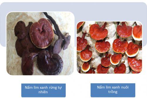 Nhận biết nấm lim xanh rừng tự nhiên với loại nấm lim nuôi trồng.
