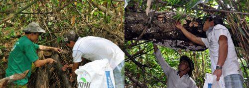 Nấm lim xanh mọc ở đâu là vấn đề được nhiều người quan tâm khi tìm hiểu về loại nấm này.