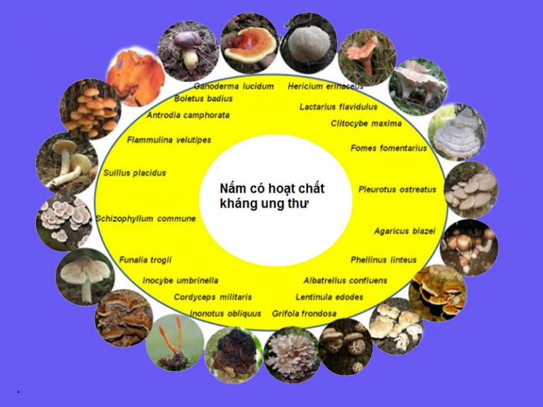 Nấm linh xanh Quảng Nam có nhiều dược chất quý tốt cho sức khỏe.