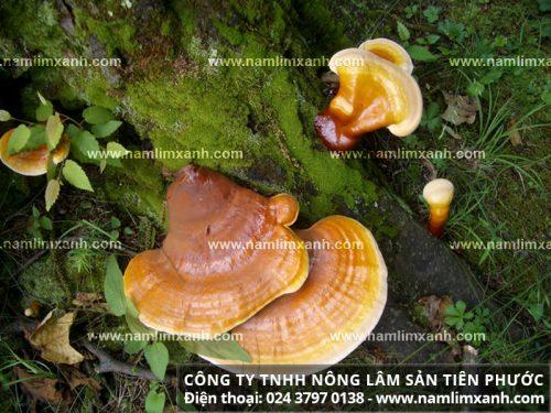 Nấm lim rừng tự nhiên