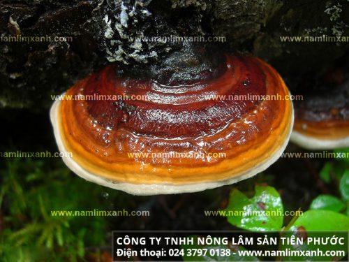 Tác dụng chữa bệnh của nấm lim xanh Quảng Nam