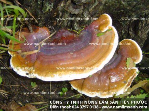 Hình ảnh về nấm lim xanh rừng
