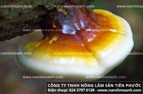 Thành phần dược chất trong nấm lim xanh