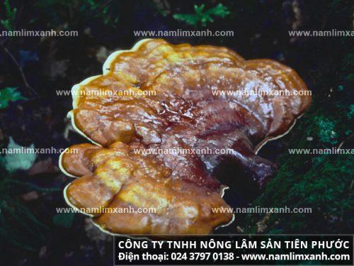 Thoát khỏi ung thư dạ dày nhờ nấm lim xanh