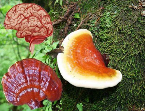 Nấm lim xanh giúp điều trị tai biến mạch máu não