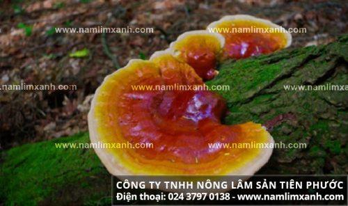 Thành phần dược chất của nấm lim xanh