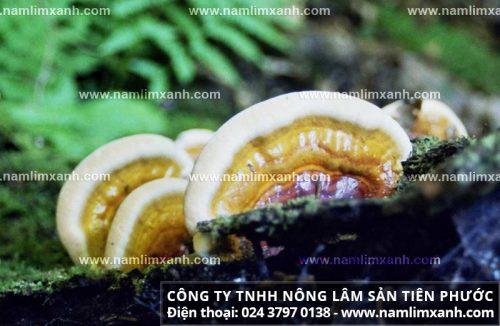 Tác dụng của nấm lim với bệnh đau dạ dày