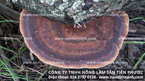 Hình ảnh về các loại nấm lim xanh rừng tự nhiên