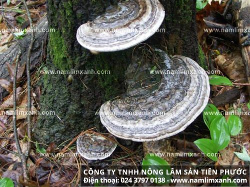 Nấm lim xanh rừng Quảng Nam được cho là giá trị hơn cả nhân sâm. Chúng có thể điều trị bệnh đau dạ dày cũng như các bệnh khác