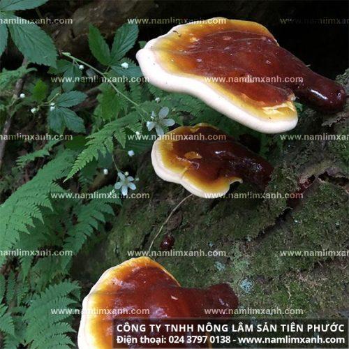Tác dụng của cây nấm lim xanh không chỉ với ung thư mà còn rất tốt với bệnh tiểu đường