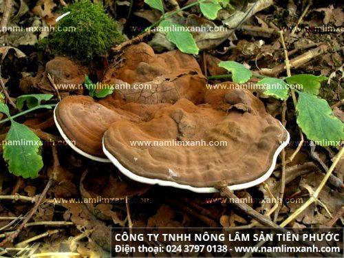 Nguồn gốc nấm lim xanh rừng