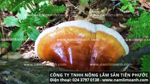 Hình ảnh nấm lim xanh Quảng Nam.