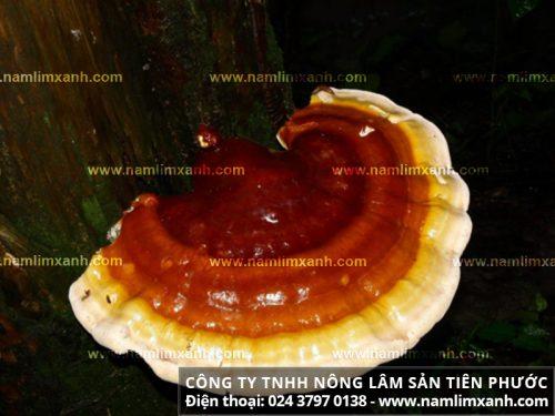 Hình ảnh nấm lim xanh rừng Tiên Phước