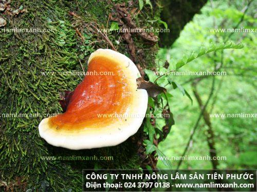 Hình ảnh nấm lim xanh rừng tự nhiên.