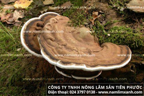 Nấm lim xanh rừng Quảng Nam