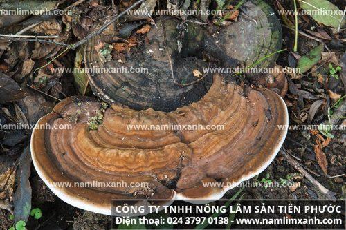 Nấm lim xanh rừng tự nhiên