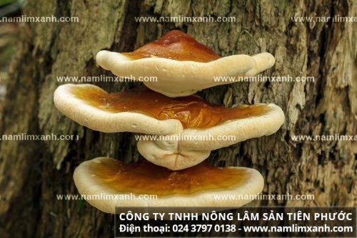 Nấm lim xanh rừng tự nhiên Quảng Nam