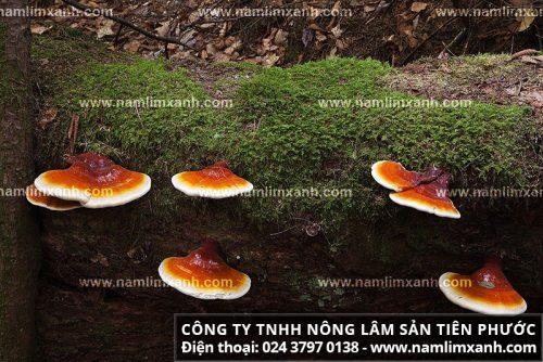 Nấm lim xanh tự nhiên Quảng Nam có nhiều công dụng đối với sức khỏe người dùng
