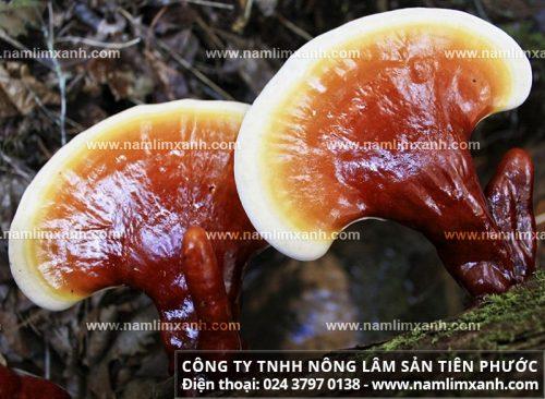 Sản phẩm nấm lim xanh của Công ty TNHH Nông lâm sản Tiên Phước có công dụng tốt cho sức khỏe
