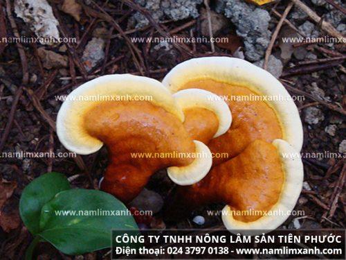 Các loại nấm lim xanh rừng trong tự nhiên.