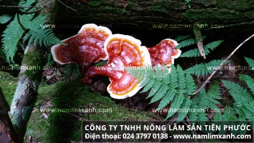 Công dụng chữa bệnh của nấm lim xanh rừng Quảng Nam